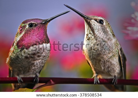 Two hummingbirds stand next to each other on a twig with flowers in background. - stock photo