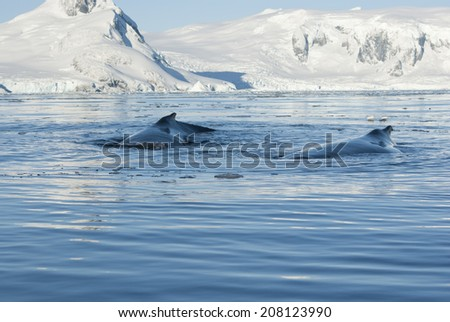 Two humpback whale. - stock photo