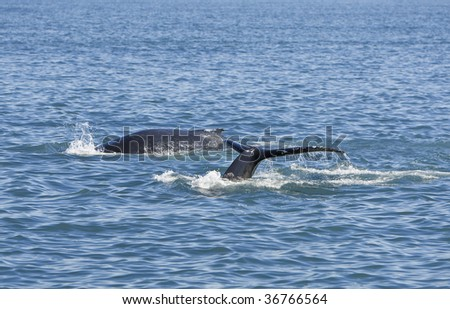 Two humpback whales, Megaptera novaeangliae, diving for food one showing its tail or fluke as it goes down. Shot on location near Husavik off the north coast of Iceland. - stock photo