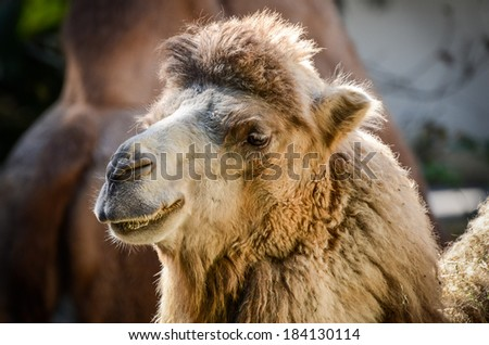 Two - humped camel in a ZOO - stock photo