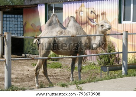 Two-humped white camel at the zoo