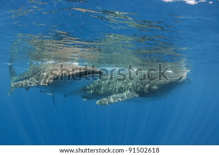 two hungry whale sharks search for phytoplankton off Mexico's Yucatan peninsula - stock photo