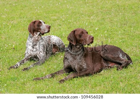 Two hunting setters - stock photo