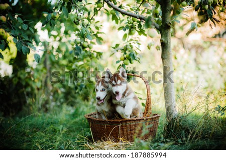 two husky puppies in basket