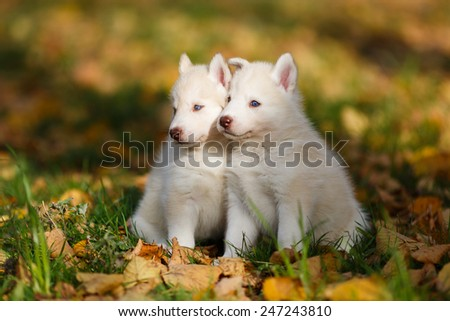 Two husky puppy on the leaves in autumn