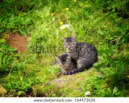 Two identical gray domestic cats somewhere in nature. - stock photo