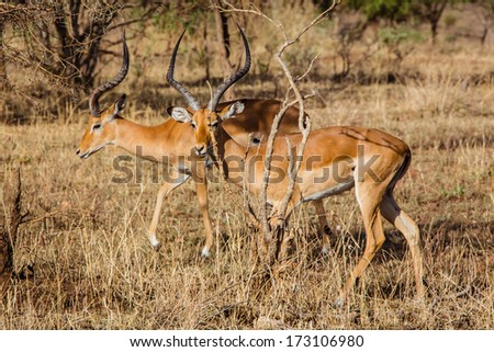 Two impala antelopes