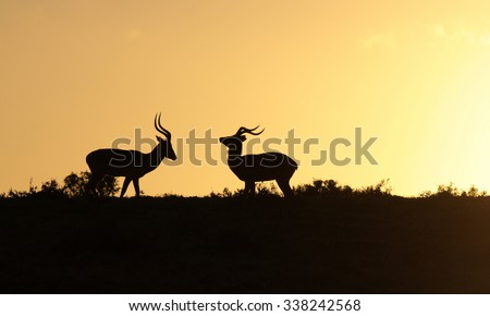 Two Impala ram at sunset in this silhouette from eastern cape, South Africa - stock photo