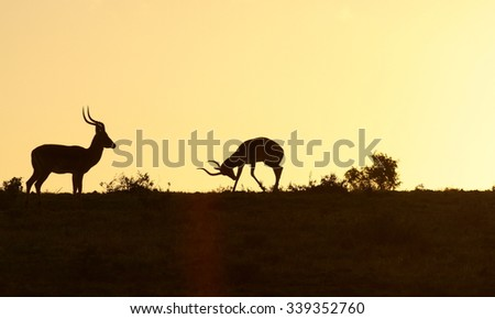 Two Impala ram at sunset in this silhouette from eastern cape, South Africa