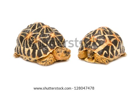 Two Indian Starred Tortoise  on white background - stock photo