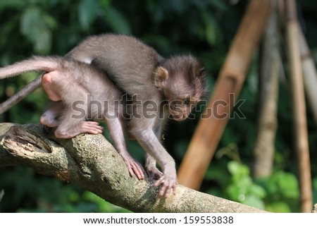 Two infant Macaque or long tailed monkeys playing.