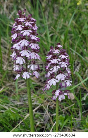 two inflorescences of lady orchid - stock photo