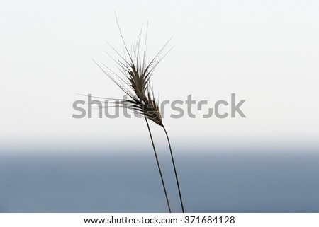 Two intertwined embraced spikelets on the background of blue sky. Be my Valentine forever!
