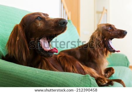 Two  Irish Setters resting on sofa