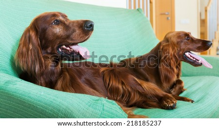 Two  Irish Setters resting on sofa at living room