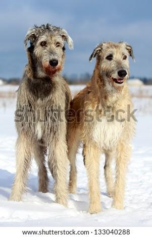 two irish wolfhound dog in winter field - stock photo