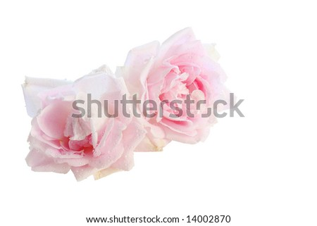 two isolated pink rose blossoms with little water drops