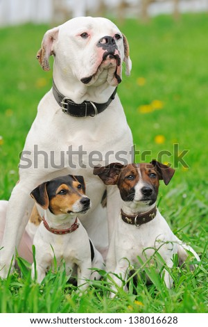 Two jack russel terriers  and American bulldog sitting in green grass - stock photo