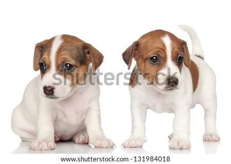 Two Jack Russell terrier puppies on a white background