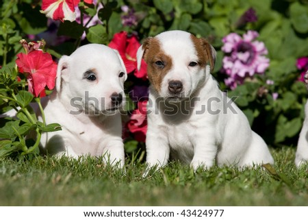 Two Jack russell terrier puppies sitting in front of flowers - stock photo