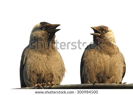 two jackdaws ( Corvus monedula ) staying at a chat, isolation on white background