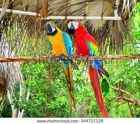 Two  Jamaica Parrots - stock photo