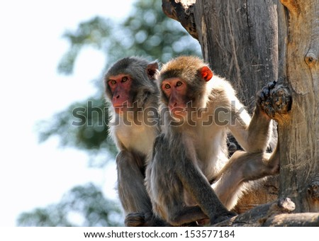 two Japanese macaques clinging to a tree branch in the Savannah - stock photo