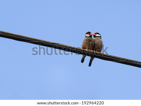 Two Java Sparrows get close on a telephone wire in Kauai, Hawaii. - stock photo