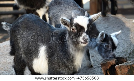 Two joung goats