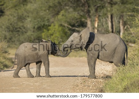 Two juvenile African Elephants facing each other in South Africa's Kruger Park - stock photo