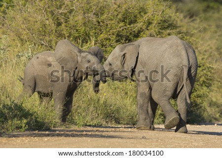 Two juvenile elephants facing each other in South Africa's Kruger Park - stock photo