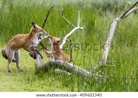 Two Juvenile Foxes Playing by a Tree Branch - stock photo