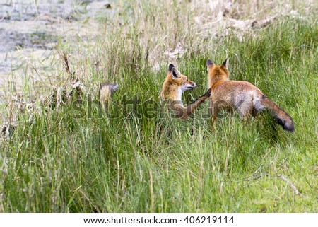 Two Juvenile Red Foxes Playing on the Grass - stock photo