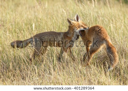 Two juvenile red foxes playing or just little fight - stock photo