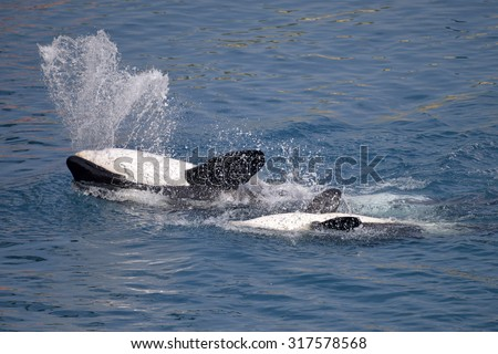 Two killer whales (Orcinus orca) swimming on the back with big splash - stock photo