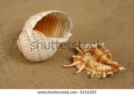 Two kinds of seashells on the beach sand - stock photo