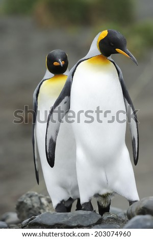 Two King Penguin (Aptenodytes patagonicus) walking behind each other in colony at Macquarie Island, sub Antarctic waters of Australia. - stock photo