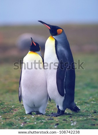 Two king penguins in the grass area in summer day Falkland islands - stock photo