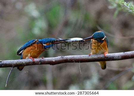 two kingfishers on branch in mating season ( alcedo atthis) - stock photo