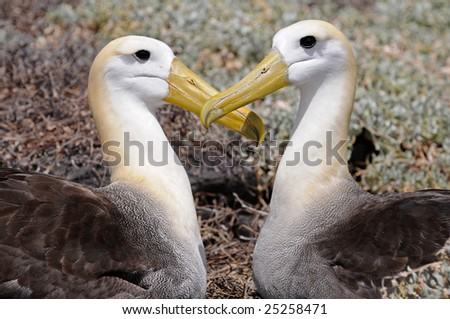 Two kissing albatrosses put their heads in the form of a heart - stock photo