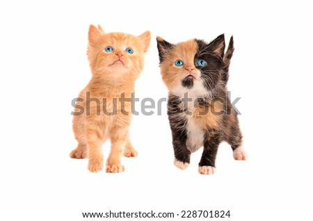Two kittens, a calico and an orange tabby kitten, together on a white background - stock photo