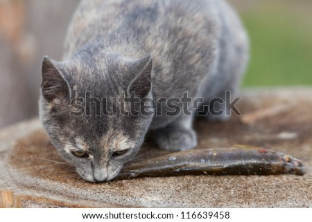 Two kittens eat fresh fish. - stock photo