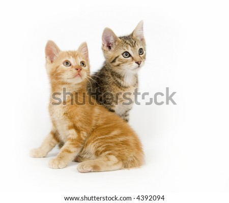Two kittens look to the right on a white background