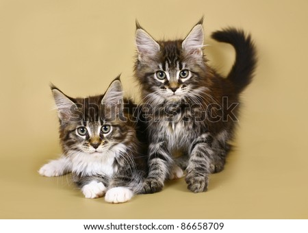 Two kittens maine coon