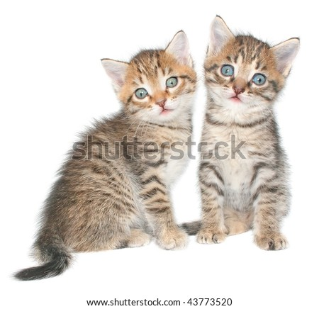 Two kittens on a white background.