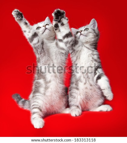 two kittens on  red background - stock photo