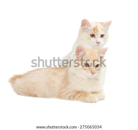 two Kurilian Bobtail cats are isolated on white background - stock photo