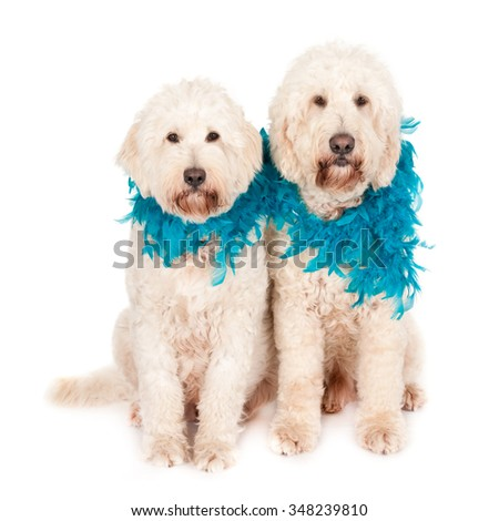 Two Labradoodle dogs with blue feather boas, isolated on white - stock photo