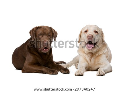 Two Labrador dogs lying in front of a white background