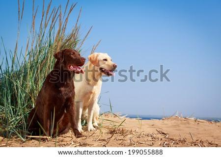 two  labrador retriever dog - stock photo